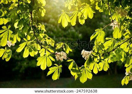 Flowering Aesculus horse chestnut foliage vibrant green colors in sunlight, plant known as buckeye, early spring season, bright leaves and white flowers in sunny day, calm nature detail, horizontal - stock photo