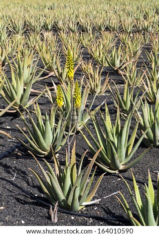 Flowering Aloe Vera; field of flowering Aloe Vera plants cultivated in black volcanic soil