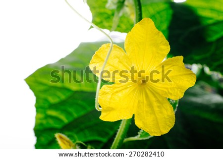 flowering and ovary, growing vegetables in a greenhouse pollination of plants under greenhouse conditions. agriculture and gardening - stock photo