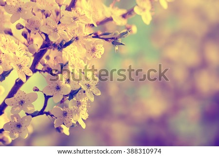 Flowering apple blossoms. Spring background with copy space. Picture in retro style. - stock photo