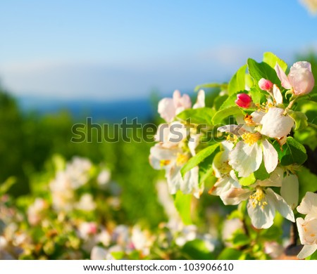 flowering apple tree in mountain - stock photo