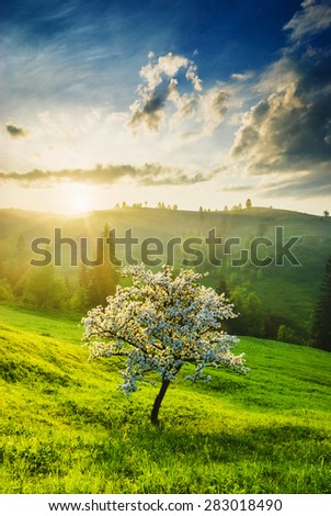 Flowering apple tree on a green hill in a Carpathian mountains. Majestic sunrise with colorful clouds  - stock photo