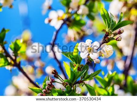 flowering apple tree sunny spring closeup blur focus - stock photo