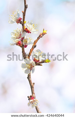 Flowering apricot tree branch close up on a blurred background of spring orchard - stock photo