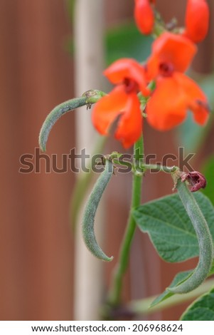 Flowering Baby Runner Beans  - stock photo