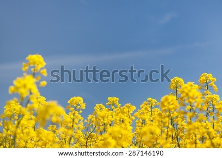 flowering background - yellow rapeseed and blue sky - stock photo