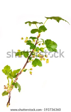 Flowering blackberry, it is isolated on a white background - stock photo