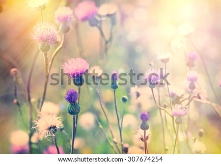 Flowering, blooming thistle - burdock  - stock photo