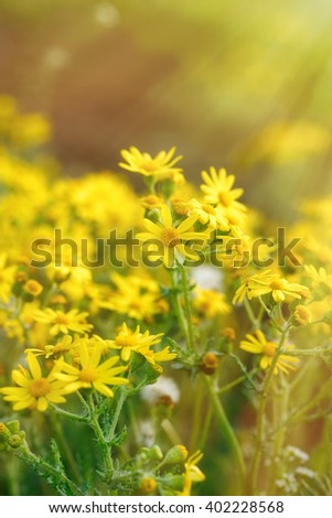 Flowering, blooming yellow flowers in meadow - springtime - stock photo