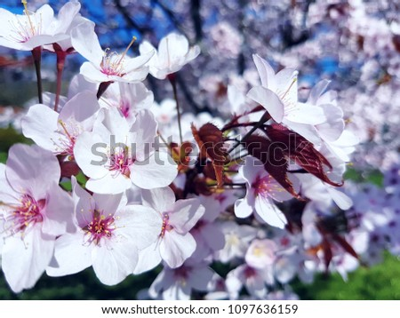 stock-photo-flowering-blossoms-of-cherry