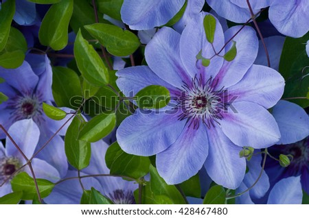 Flowering blue clematis in the garden. Beautiful lilac clematis flower  - stock photo