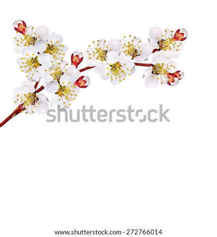 Flowering branch apricots - stock photo