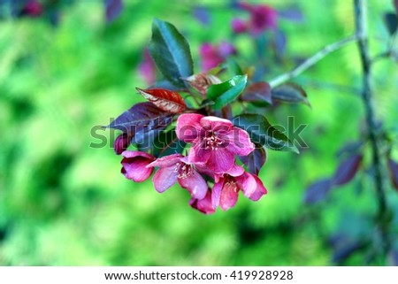 Flowering branch decorative apple Malus Royalty