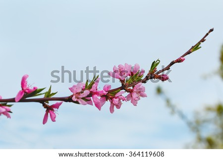 flowering branch of a peach.