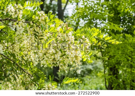 Flowering branch of acacia close up in green grove on a sunny spring day. Selective focus - stock photo