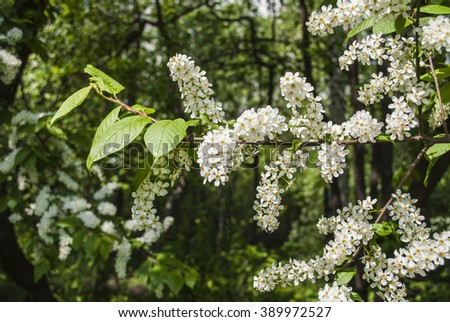 Flowering branch of bird-cherry.