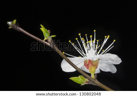 Flowering branch of cherry - stock photo