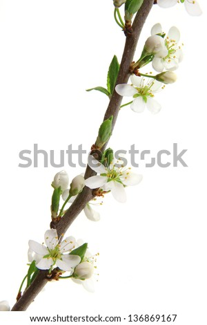 Flowering branch of hawthorn (Crataegus) isolated in front of a white background