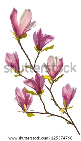 Flowering branch of magnolia, isolated on white background - stock photo