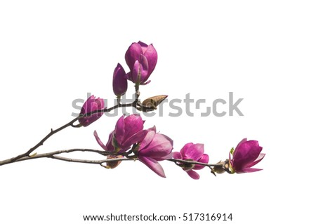 Flowering branch of magnolia (Saucer magnolia or Magnolia Soulangeana) is isolated on white.