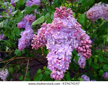 Flowering branch of purple lilac
