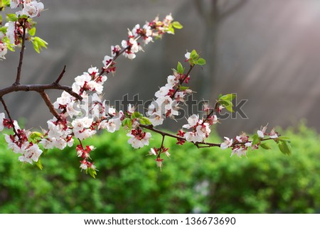 Flowering branch of  tree on  sun's rays background - stock photo