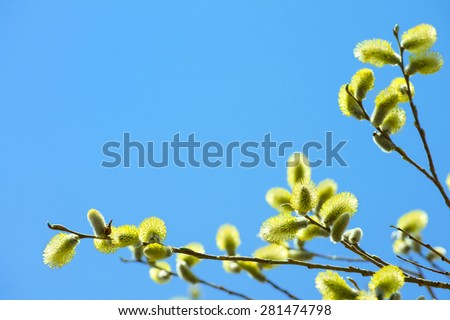 Flowering branch of willow on a background of the sunny sky - stock photo