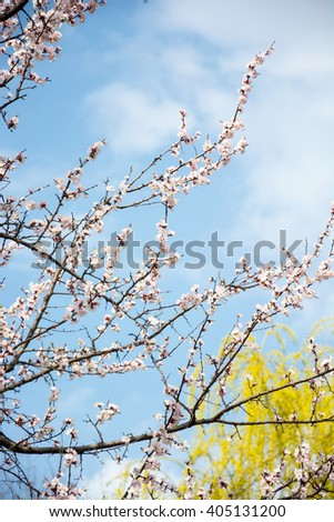 Flowering branches in front of a willow and blue sky.