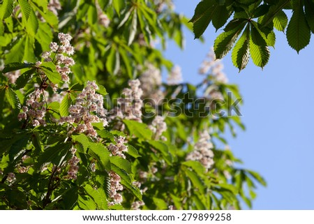Flowering branches of chestnut (Aesculus hippocastanum) on the background of green leaves - stock photo