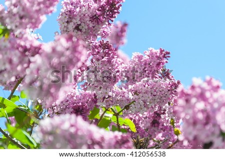 Flowering branches of lilacs . - stock photo