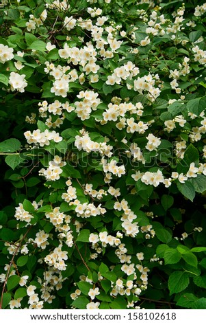 Flowering Bush Philadelphus, floral background - stock photo