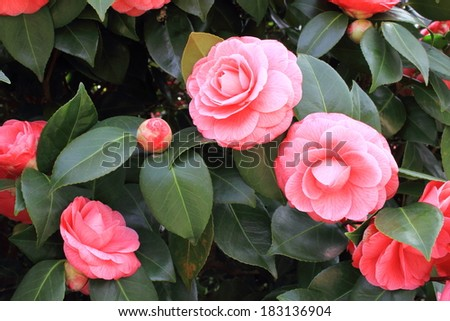 flowering camellia gardens and parks Italian - stock photo