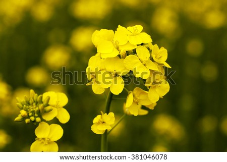 flowering canola. spring  - stock photo