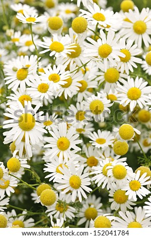 Flowering chamomile growing in summer meadow close up - stock photo