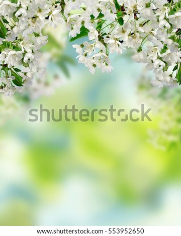 Flowering cherry branch close-up on blurred natural background. The Cherry Orchard. Natural blooming spring background.