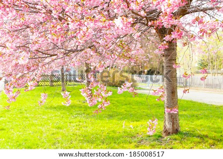 flowering cherry, sakura trees spring flower concept