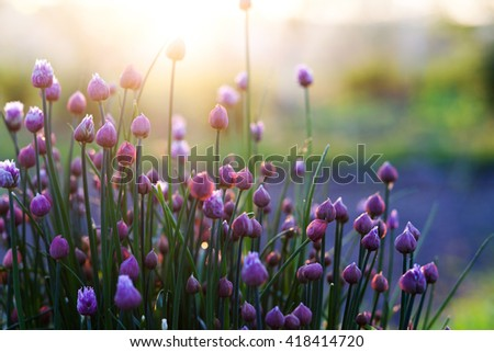 flowering chives in the garden at sunset - stock photo