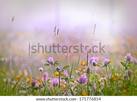 Flowering clover - red clover - stock photo