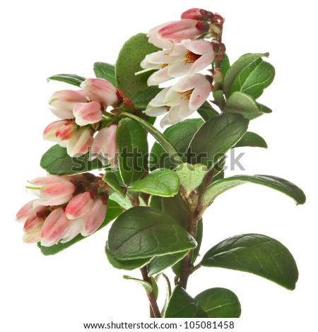 Flowering Cowberry Lingonberry bush  branch plant close up macro isolated on white - stock photo