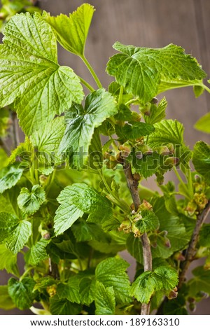 Flowering currant - stock photo