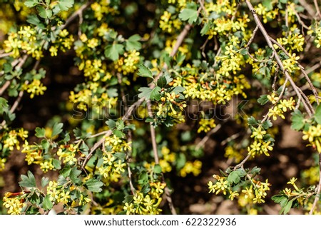 Flowering currant stock photo safe to use 622322936 shutterstock flowering currant mightylinksfo