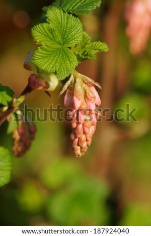 Flowering Currant ,flowering shrubs  - stock photo