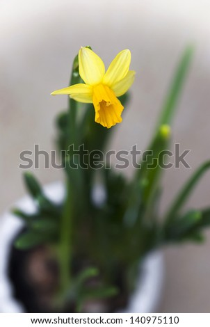 Flowering daffodil in a flower pot. - stock photo