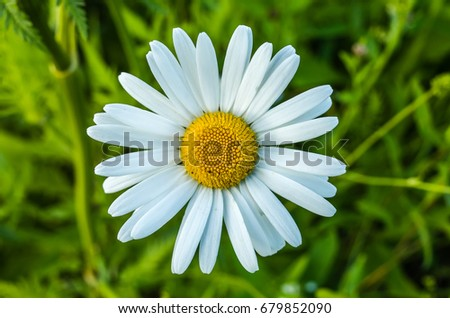 Flowering daisy field