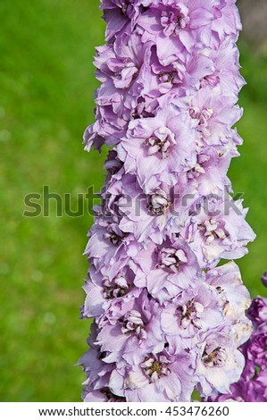 Flowering delphiniums,  shallow DOF - stock photo
