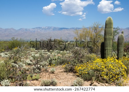 Flowering Desert spring in Saguaro National Park, Arizona, USA - stock photo