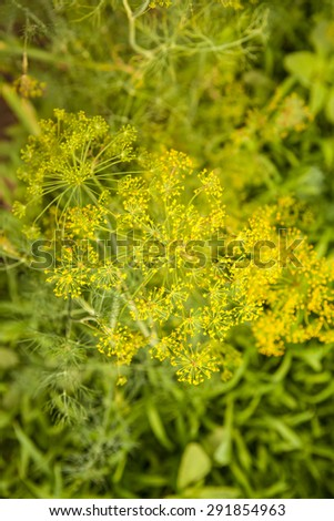 flowering dill on a bed, shallow depth of field