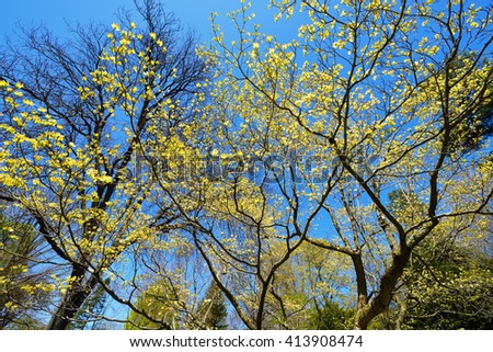 Flowering dogwood yellow flowers and branches against deep blue sky - stock photo