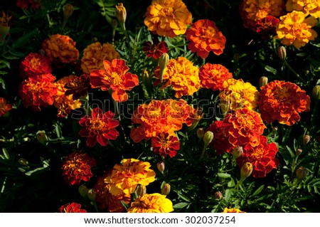 Flowering dwarf tagetes in the sunny morning.
