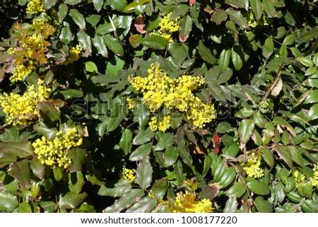 Flowering evergreen shrub mahonia aquifolium spring stock photo flowering evergreen shrub of mahonia aquifolium in spring mightylinksfo